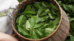 Ofisinal dərman bitkiləri-Çin çayı