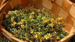 Ofisinal dərman bitkiləri -Adi dazı otu